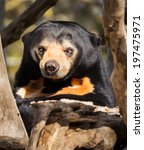 This Sun Bear Showing His Mean...