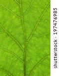 Oak Leaf Structure Closeup ...