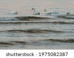 Swan Family In Sea Water At...