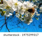 Bumblebee Insect On White...