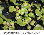 Water Plants With Large Bulbs
