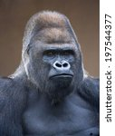 portrait of a gorilla male ... | Shutterstock . vector #197544377