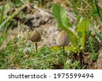 A Pair Of Wild Mushrooms...