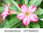 Small photo of Pink flowers, Adenium multiflorum.