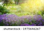 Purple Flowers Blooming On...