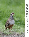 Small photo of Red-legged partridge, Alectoris rufa, single bird on grass, Warwickshire, May 2014