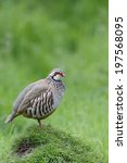 Small photo of Red-legged partridge, Alectoris rufa, single bird on grass, Warwickshire, May 2014