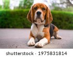 Cute Beagle With Serious Face...