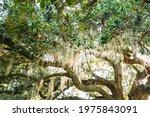 Beautiful Oak Trees With...