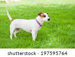 little white dog with spots on...   Shutterstock . vector #197595764