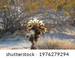 A Cholla Cactus Also Known As...