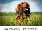 Stock photo dachshund 197629151