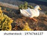 White Beautiful Duck Standing...
