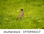 An American Robin Scavenges For ...