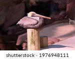 Photo Of A Pelican Resting On A ...