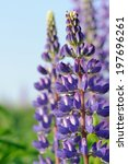Purple Lupine Flowers In The...