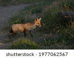 A Feral European Red Fox About...