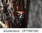 Beautiful Pileated Woodpecker...