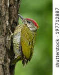 Green Woodpecker   Picus...