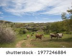 Bucolic Landscape With Grazing...