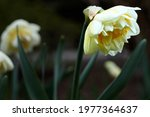 Flowers daffodils  narcissus ...