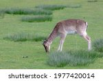 Portrait Of Young Deer With...
