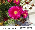 Hardy Iceplant  A Species Of...
