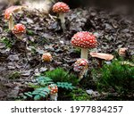Closeup Photo Of Red Fly Agaric ...
