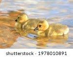 Baby Canada Geese Goslings...