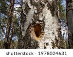 The Trunk Of A Birch Tree With...