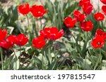 tulip on nature | Shutterstock . vector #197815547
