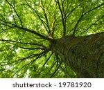 diagonal shot looking up a tree ... | Shutterstock . vector #19781920