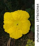 Close Up Of Sponge Gourd Flower....
