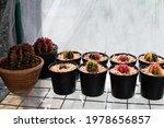 Gymnocalycium  Spotted Cactus...