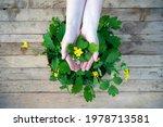 Yellow Chelidonium Flowers Used ...