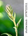 Hosta Tardiva Cultivated...