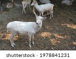 Male Long Horned White Fallow...