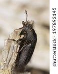 Small photo of Peltis grossa, Trogossitidae on wood