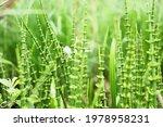 Young Marsh Horsetail Among The ...