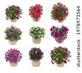 Set Of Bouquets Of Petunias...