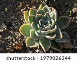 Cactus And Succulent Echeveria  ...