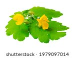 Medicinal Plant Celandine...