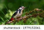 Great Spotted Woodpecker Sits...
