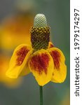 Mexican Hat Blooming In The...