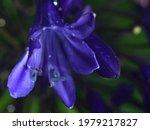 Close Up Of Blue Agapanthus ...