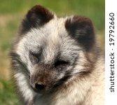 Small photo of Photo of a Arctic Fox- Alopex lagopus