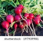 bunch of fresh dirty radishes... | Shutterstock . vector #197939981