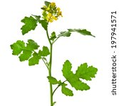 White Mustard Plant Flowering...