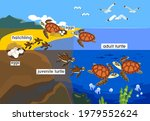 life cycle of sea turtle.... | Shutterstock .eps vector #1979552624