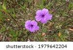 Two Purple Flower In Garden ...
